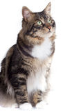 Striped cat. On a white background. Isolated stock images