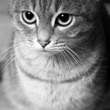 Striped cat Royalty Free Stock Image