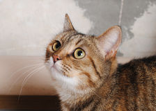 Striped cat on a background of shabby wall Stock Images