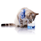 The striped cat with a blue bow drinks milk from a glass. Striped cat. Striped not purebred kitten. Small predator. Small cat Royalty Free Stock Photos