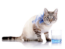 Striped cat with a blue bow and a glass of milk. Stock Photo