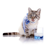 Striped cat with a blue bow and a glass of milk. Royalty Free Stock Images