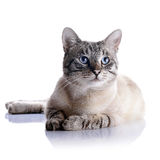 Striped cat with blue eyes. Stock Photography