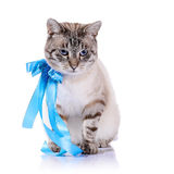 Striped cat with a blue tape. Royalty Free Stock Photography