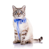 Striped cat with a blue tape. Stock Photos