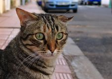 Striped cat with broken ear. Closeup of a striped cat with broken ear sitting on the sidewalk of red tiles stock photography