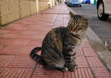Striped cat with broken ear. Closeup of a striped cat with broken ear sitting on the sidewalk of red tiles royalty free stock images