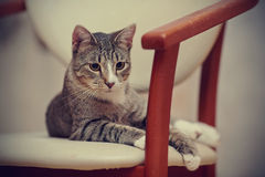 Striped cat on a chair. Royalty Free Stock Image