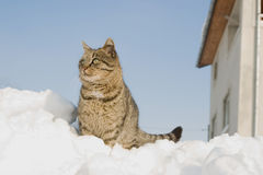 Striped cat climbed on a heap of snow. In the street Royalty Free Stock Images