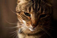 Striped Cat Close Up Royalty Free Stock Photography