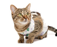 Striped cat in the clothes. After surgery stock photography