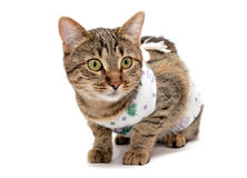 Striped cat in the clothes. After surgery stock photos