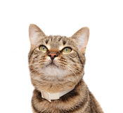 Striped cat in a collar Stock Images