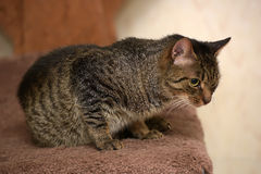 Striped cat Royalty Free Stock Images