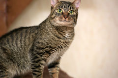 Striped cat Stock Photos