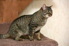 Striped cat Royalty Free Stock Photos