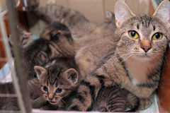 Cat with kittens. Striped cat with cute kittens royalty free stock image