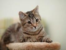 Striped cat. Royalty Free Stock Photos