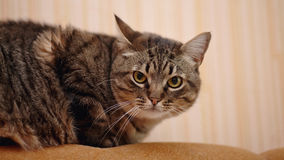 Striped cat. Stock Images