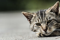 Striped cat face. Striped cat relaxing on the ground Royalty Free Stock Photography