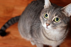 Striped cat on the floor Royalty Free Stock Photos