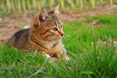Striped cat on the grass Royalty Free Stock Image