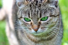 Striped cat with green eyes stock photography