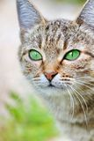 Striped cat with green eyes stock image