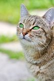 Striped cat with green eyes Royalty Free Stock Photography