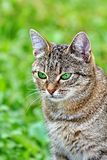 Striped cat with green eyes stock photos