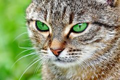 Striped cat with green eyes royalty free stock photos