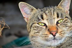 Striped cat with green eyes Royalty Free Stock Images
