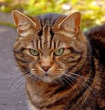 Striped cat with green eyes Royalty Free Stock Photo