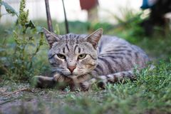 Striped cat on a green grass Royalty Free Stock Photo