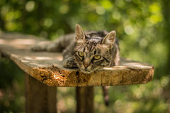 Striped cat having rest Stock Images