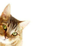Striped cat is hiding. White background stock images