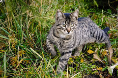 Striped cat on the hunt Stock Image