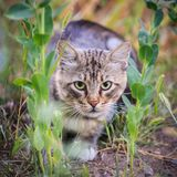 Striped cat is hunting in the grass.  royalty free stock photo