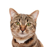 Striped Cat In A Collar Royalty Free Stock Image