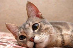Striped Cat Is Resting On Sofa Royalty Free Stock Photo