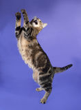 Striped cat jumping on lilac Stock Images