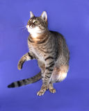 Striped cat jumping on lilac Royalty Free Stock Images