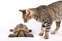 Striped cat and land turtle Royalty Free Stock Photo