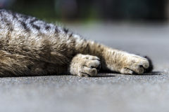 Striped cat legs Royalty Free Stock Photo