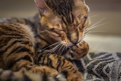 Striped cat licking paw royalty free stock photos