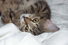Striped cat lies on a plaid Stock Image