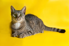 Striped cat lies on yellow Stock Photography