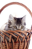 The striped cat looks from a wattled basket. Royalty Free Stock Photos