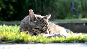 Striped cat lying on the garden stock video footage