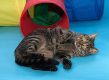 Striped cat lying beside toy tunnel on blue. Background Stock Photos